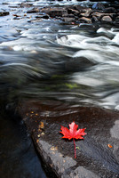 Red Maple Leaf - Oxtonge River
